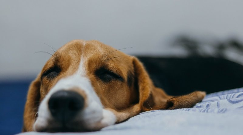 En estas Fiestas Patrias disminuye el estrés de tu mascota