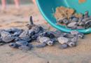 ¡Aprende e inspírate para cuidar a las tortugas Golfina con el mini documental «Ayotlcalli: Santuario de las Tortugas»