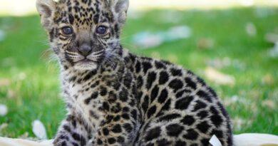 Kinder y Reino Animal unen esfuerzos para la conservación del Jaguar
